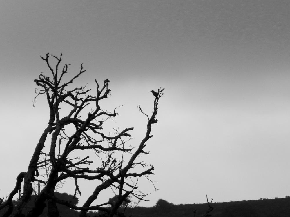 Nuttall's Woodpecker in profile